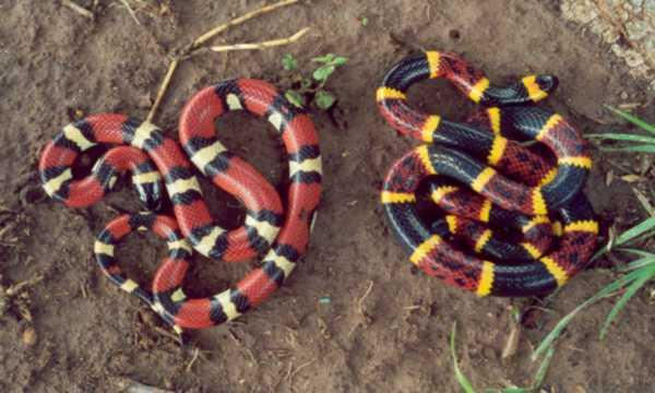Mexican Milk Snake Blog
